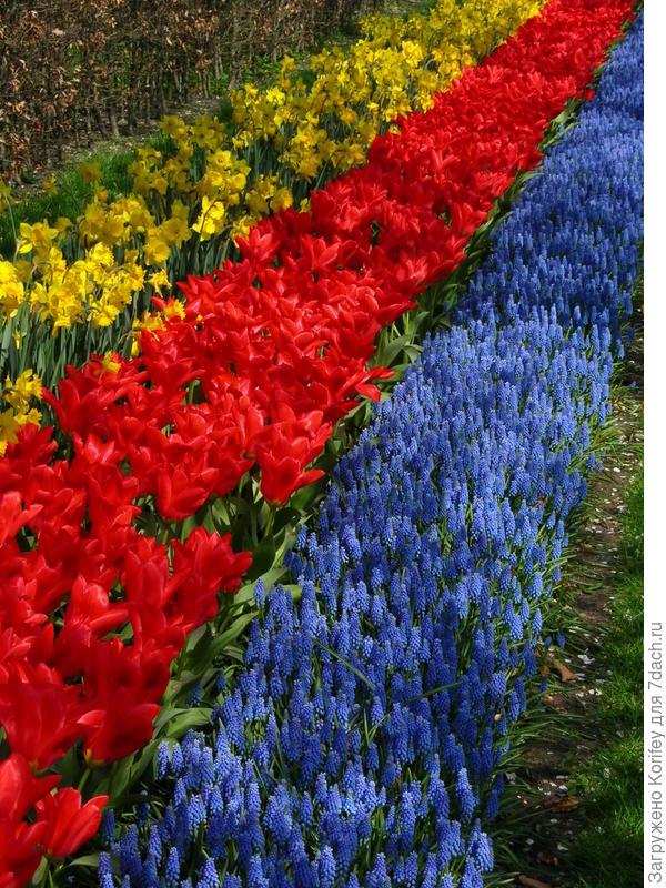 Тюльпаны- нарциссы- мускари