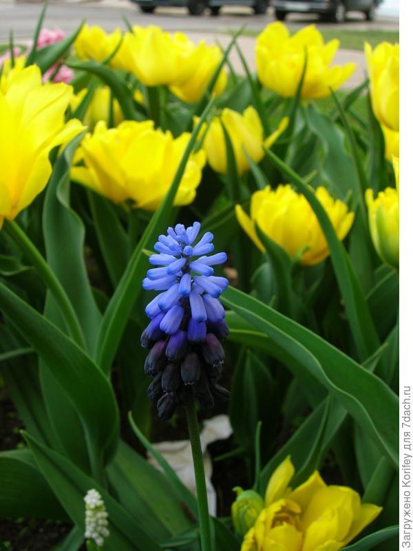 Тюльпаны и голубые мускари