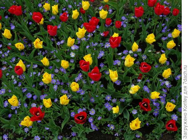 Тюльпаны и анемона нежная
