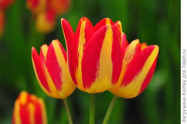 Многоцветковый сорт Florette_DSC_0203