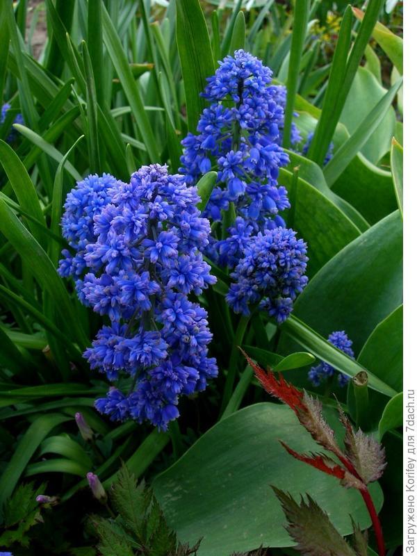 Blue Spike_DSCN3767 2