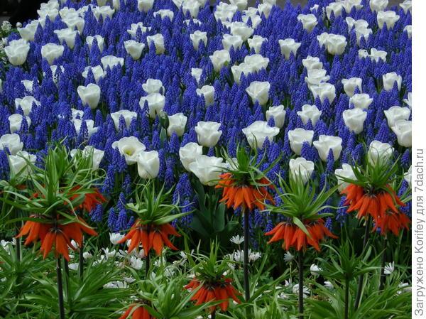 Armeniacum + Tulip Calgary_Tr_+ Fritillaria Imperialis_DSCN4235