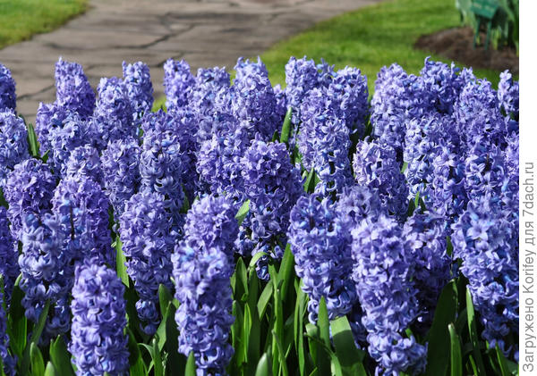 Blue Star_Hyacinth_DT_DSC_0210_7 dach