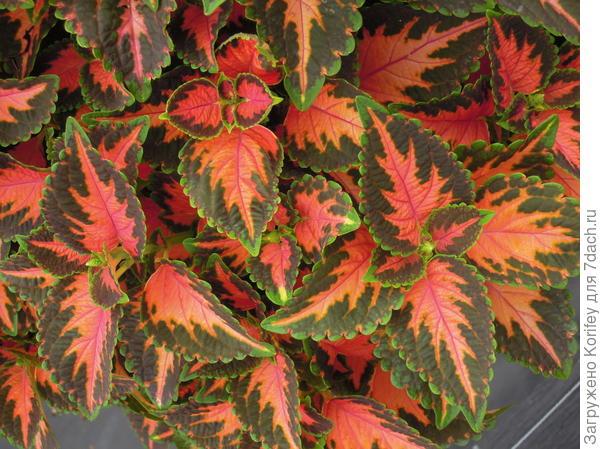 Сорт Wisard Coral Sunrise_DSCN3137