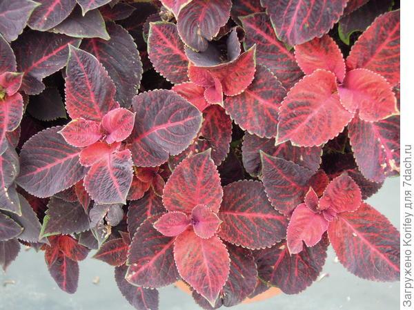 Сорт Wisard Velvet red_DSCN3142