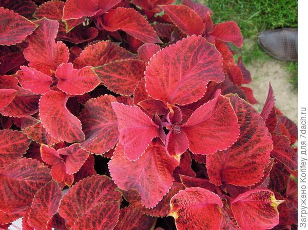 Wisard Velvet red_DSCN9283