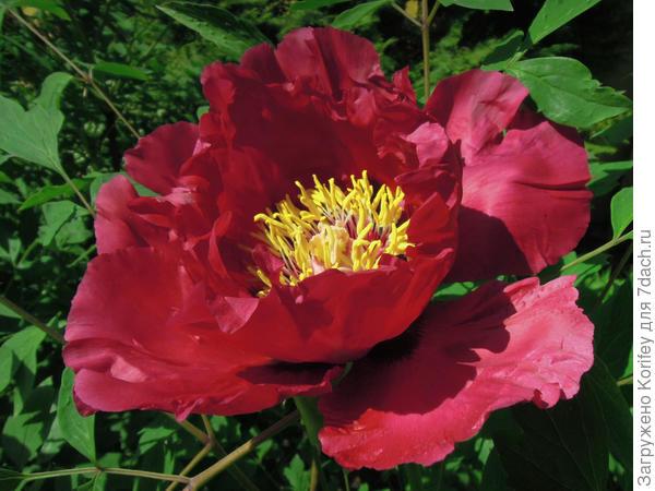 У древовидных пионов красные расцветки встречаются намного реже, чем у травянистых. В основном это белые, бело-розовые и фиолетовые оттенки