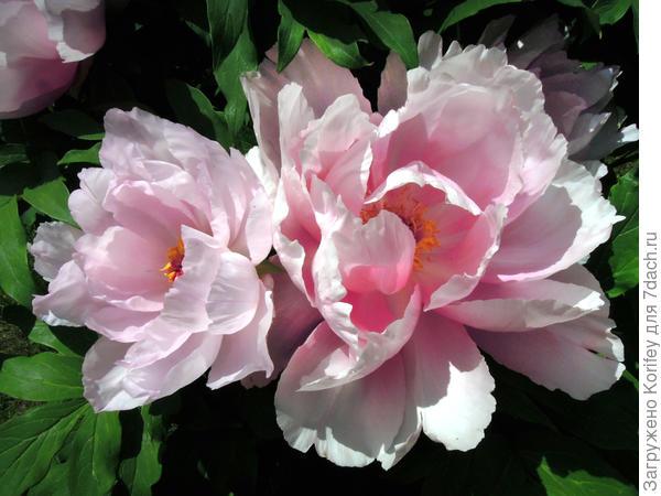 Красивый нежно розовый сорт