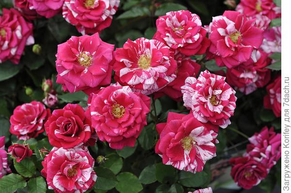 Красивые пестрые розы