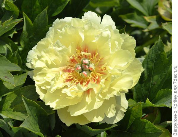 ИТО пион Гарден Трежа (Garden Treasure)