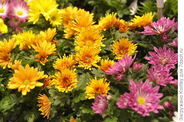 Не менее красивые хризантемы