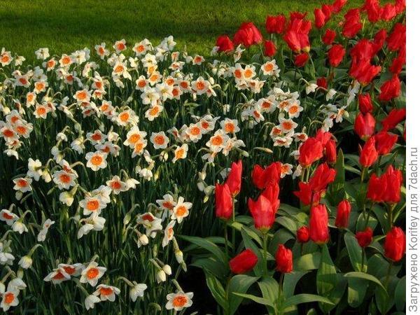 Сорт Professor Einstein на фоне красивых красных тюльпанов Фостера