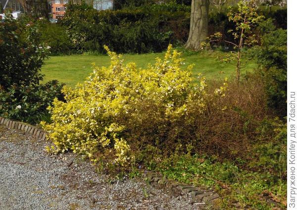 Яркий кустарник желтого цвета в центре или в углу площадки