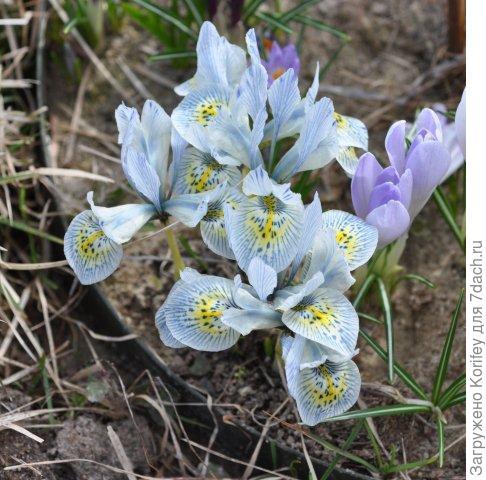 Iris reticulata Katharine Hodgkin