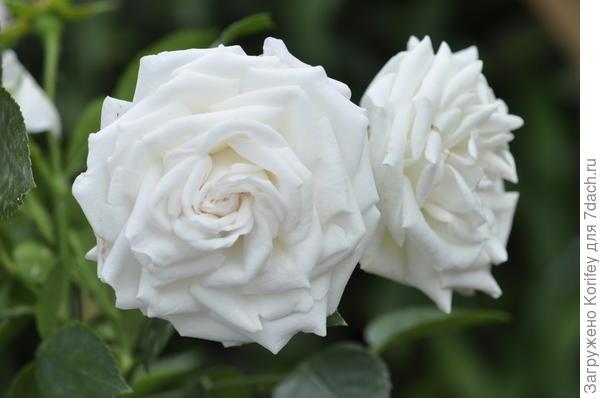 Сорт Aspirin Rose, Groundcover (почвопокровка), Tantau 1997