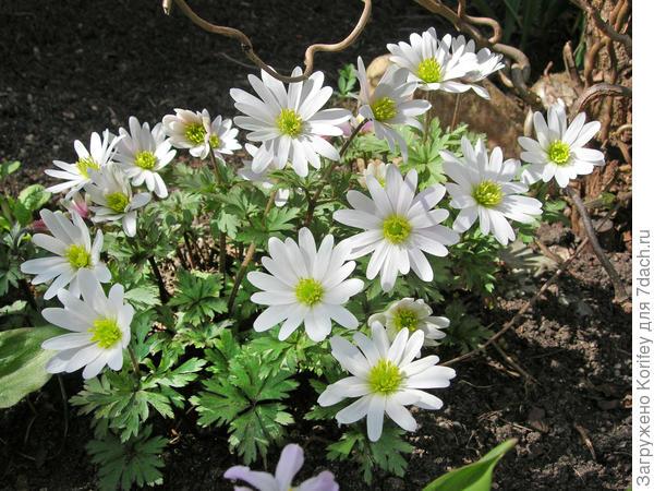 Anemona blanda White Splendor