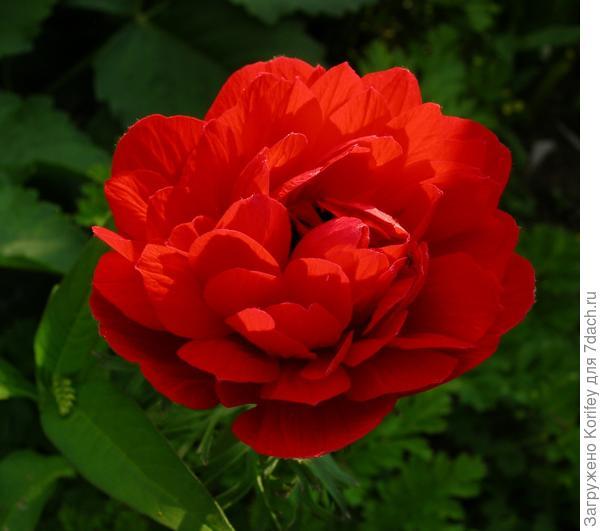 Anemona coronaria красная махровая