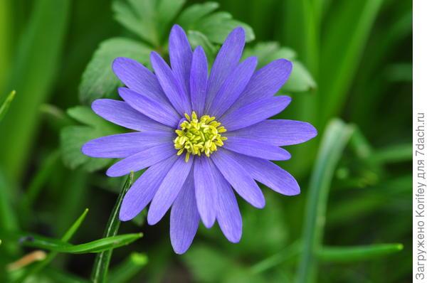 Anemona blanda Blue Shades