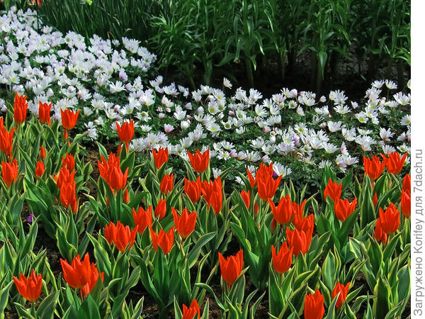 Anemona blanda White Splendor & tulip Praestans Unicum