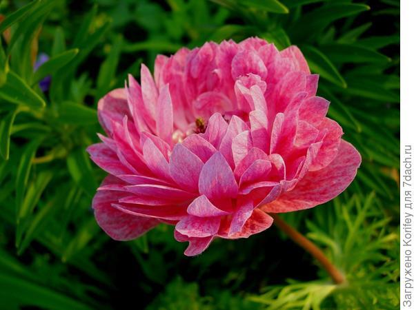 Anemona coronaria розовая полумахровая