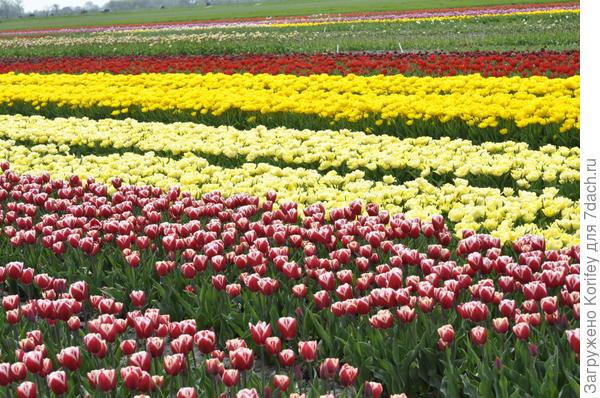 Так цветут тюльпаны в Голландии