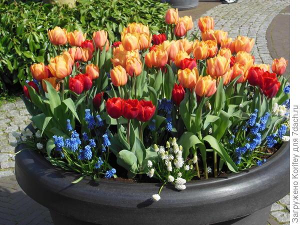 Тюльпаны в большой напольной вазе
