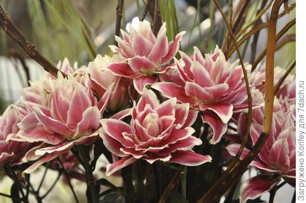 Восточная махровая лилия Samantha (роуз лилия)