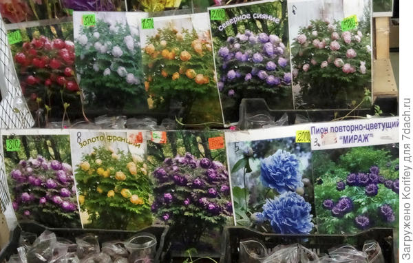 Раскрашенные в разные цвета древовидные пионы с одной и той жне фотографии