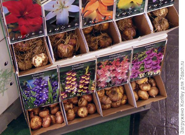 ПРимерно так выглядят луковицы лилий и гладиолучов. Обычно они все для разных сортов - разноцветные