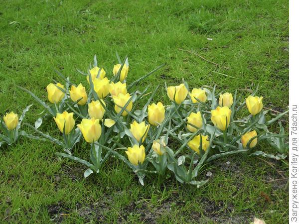 Он же (Тюльпан ботанический batalinii Bright Gem) но уже массово и на лужайке