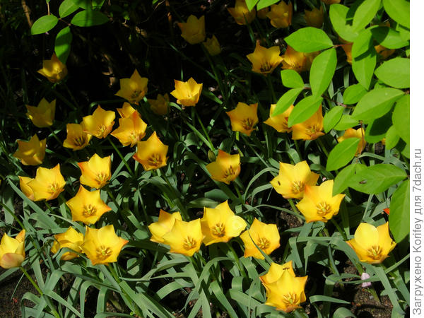 Тюльпан ботанический Cluisiana Honky Tonk