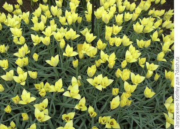 Тюльпан ботанический Cluisiana Honky Tonk на поляне