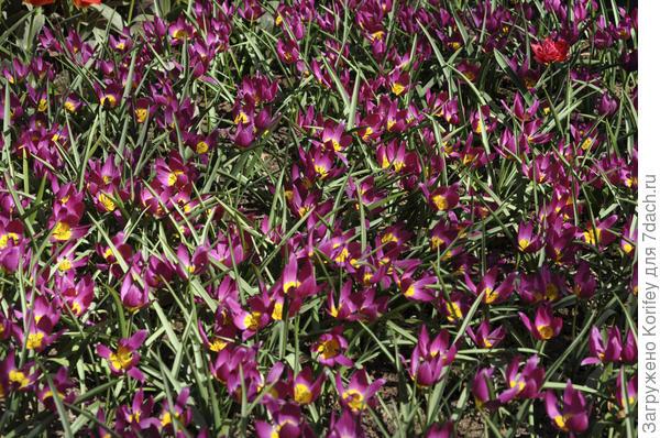 Тюльпан ботанический Pulchella Eastern Star