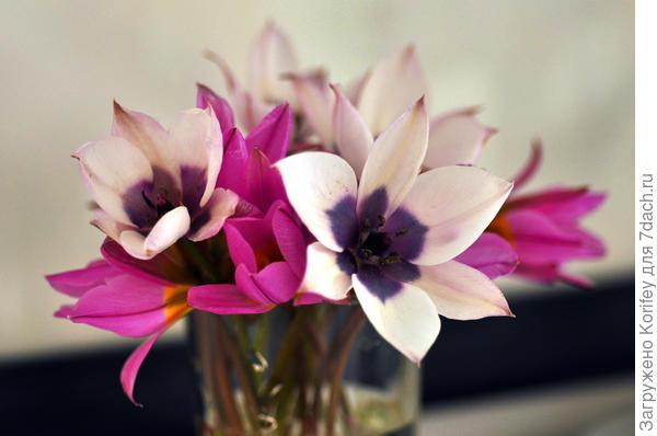 Он же в паре с другими ботаническими тюльпанами
