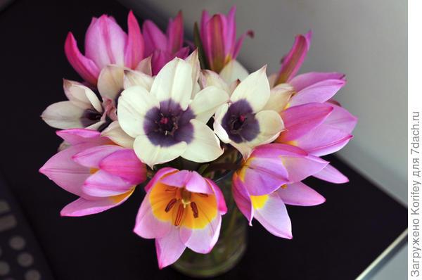 Смесь ботанических тюльпанов humilis