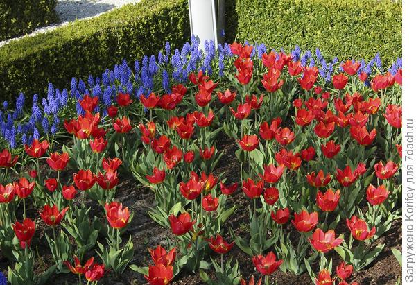 Тюльпан ботанический hageri на клумбе. Его высота примерно такая же как и у мускари, может быть выше иногда сантиметра на 2-3