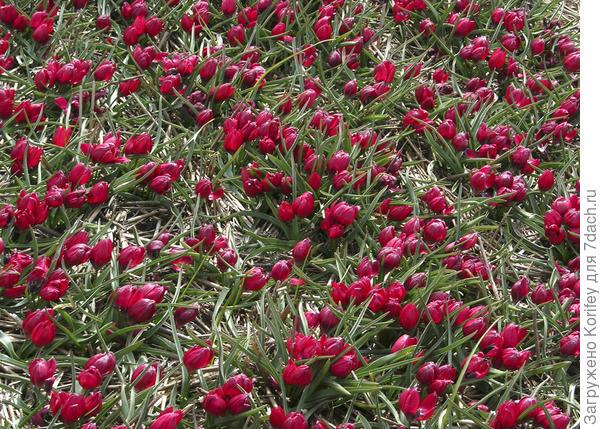 Тюльпан ботанический humilis 'Lilliput', его ещё называют карсным крокусом