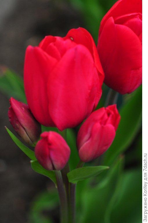 Тюльпан Ancilla (Kaufmania), часто бывает многоцветковым