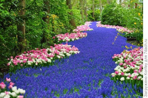 Тюльпаны махровые ранние Bel Air и Foxtrot на фоне синих мускари Арменикум