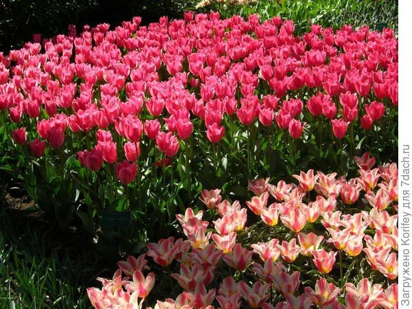 Тюльпаны Albert Heyn (на дальнем плане) + Buon Giorno (ближний план)