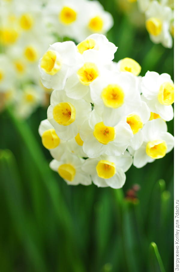 Многоцветковый Laurens Koster
