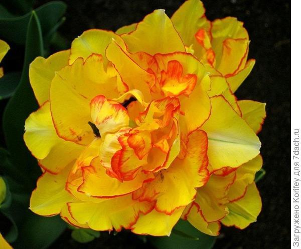 Многоцветковый махровый Aquilla