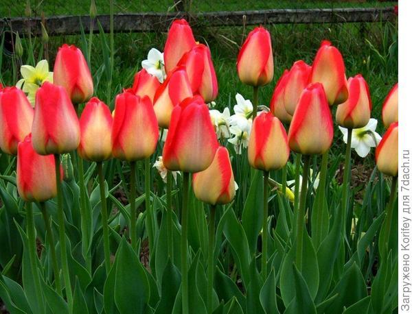 Он же в пасмурную погоду и ближе к концу цветения