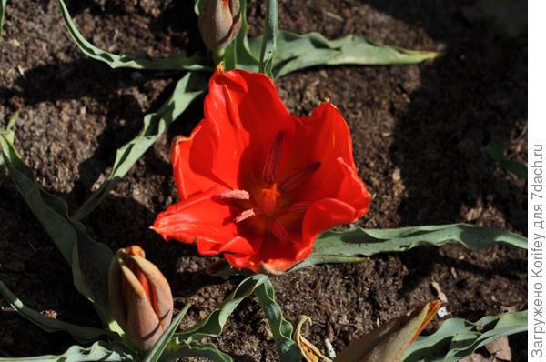 Тюльпан Введенского (Vvedenskyi)
