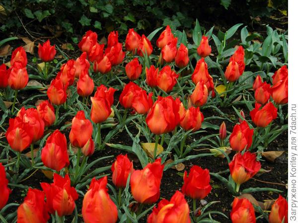 Тюльпан Vvedenskyi Tangerine Beauty, это уже сорт, полученный на его основе