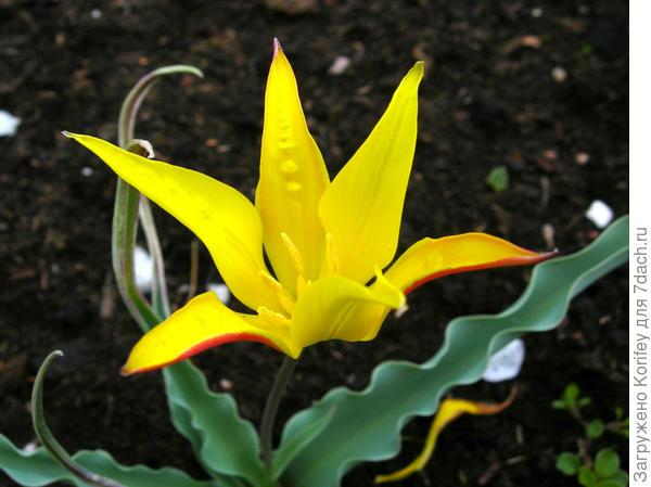 Тюльпан Eichleri (Эйхлера) достаточно редкой окраски - желтой. Обычно они бывают красными