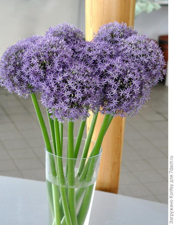 Новый сорт Allium Purple Caila