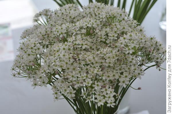 Лук неаполитанский (allium neapolitanum)