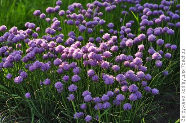 Шнит-лук, вполне съедобен ранней весной
