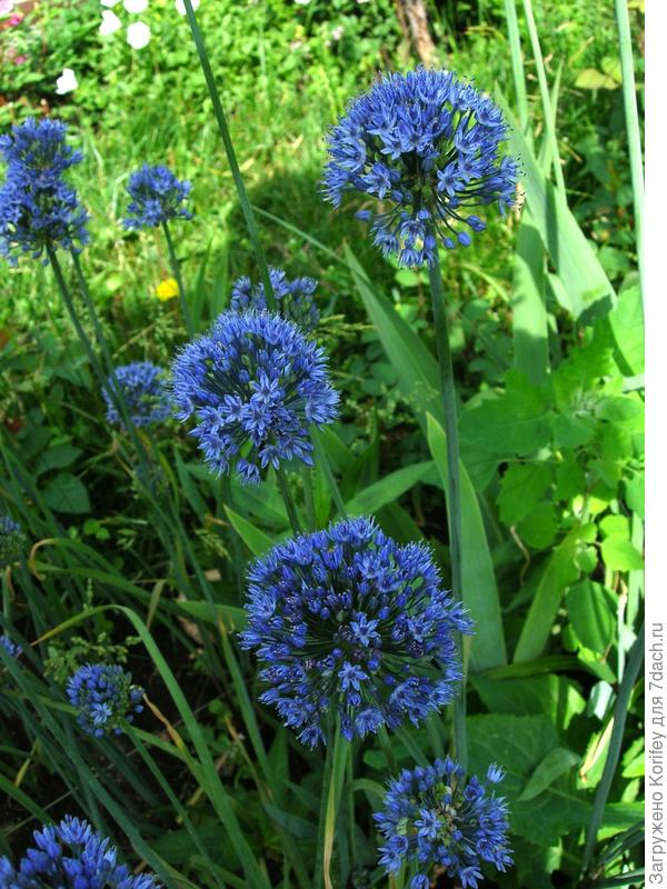 реальные фото лука голубого (Allium caeruleum, syn. A. azureum). Его часто и продают как Лук азуреум